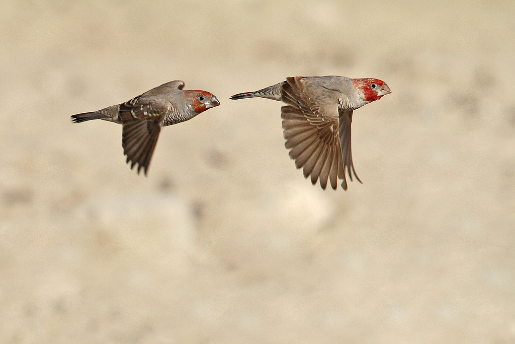 Red-headed Finch / Kgalagadi Transfrontier Park, South Africa / 9 June 2014
