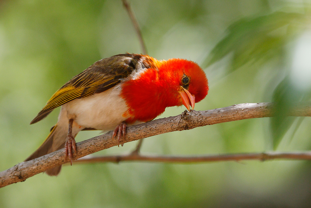 Red-headed Weaver (male) / Mabula Game Reserve, Waterberg, South-Africa / 08 January 2015