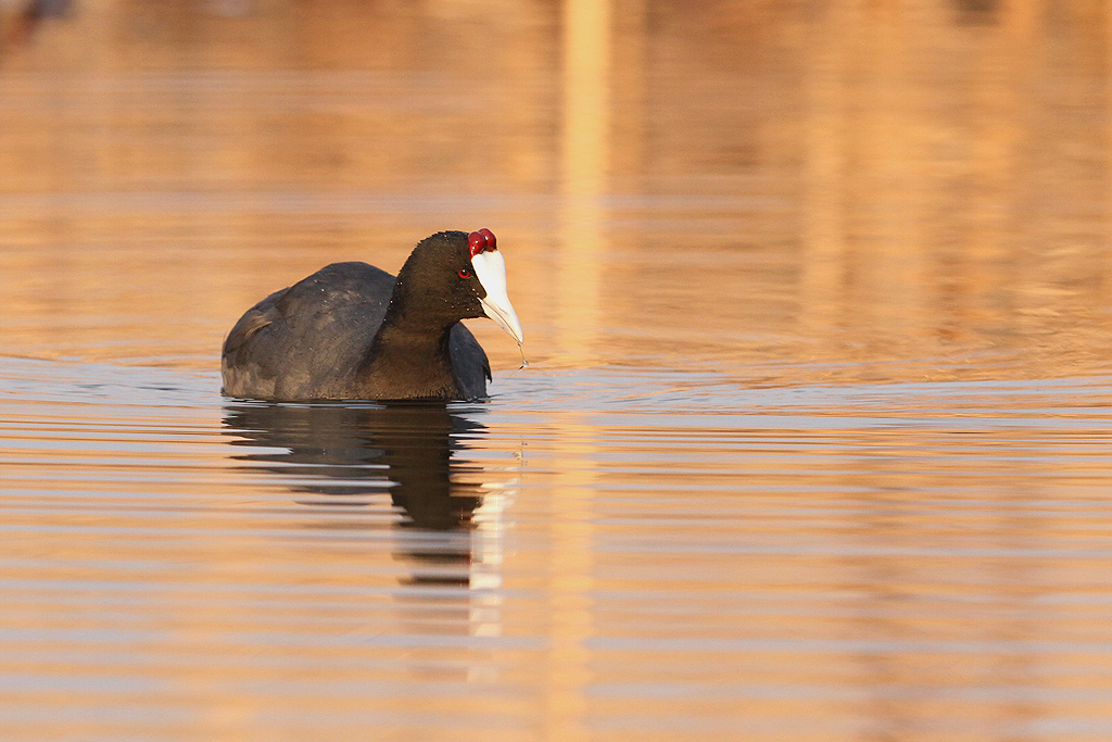 Red-knobbed Coot / Marievale Bird Sanctuary, Nigel, South Africa / 08 August 2014