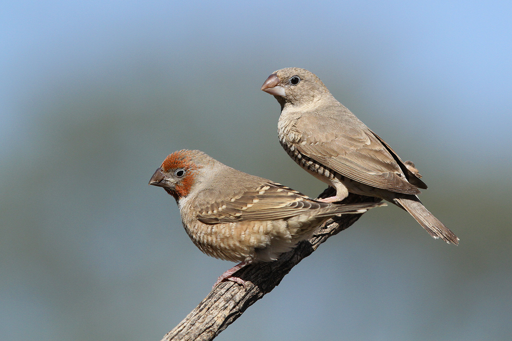 Red-headed Finch / Kgalagadi Transfrontier Park, South Africa / 10 June 2014