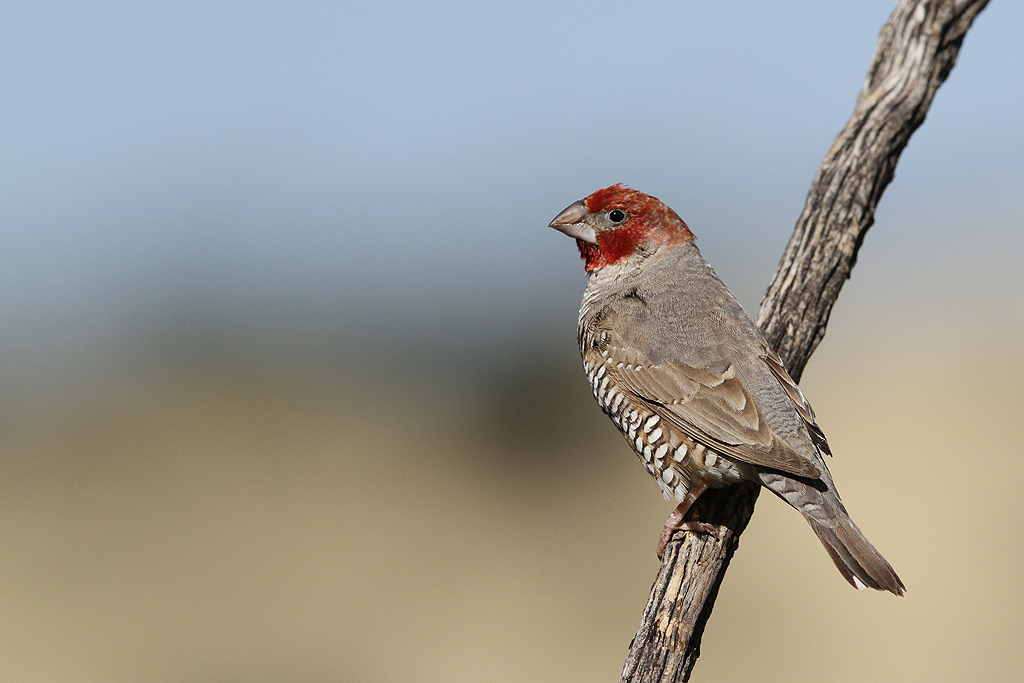 Red-headed Finch / Kgalagadi Transfrontier Park, South Africa / June 2014