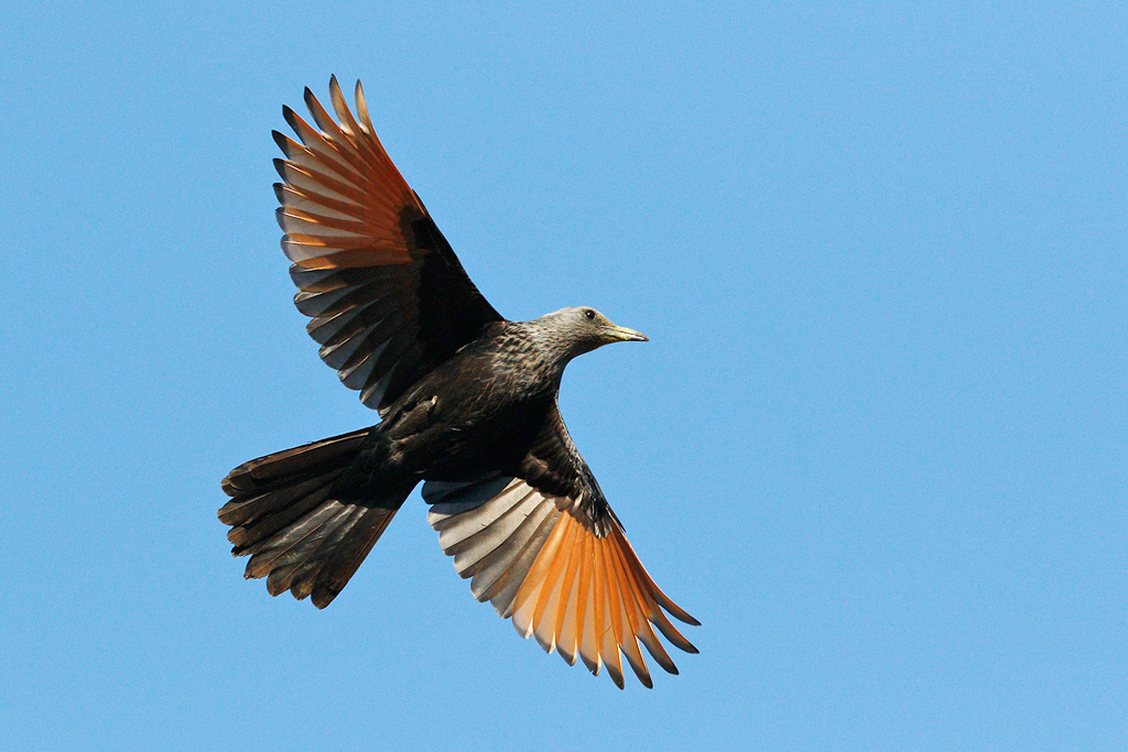 Red-winged Starling / Kololo Game Reserve, Vaalwater, South Africa / 27 September 2015