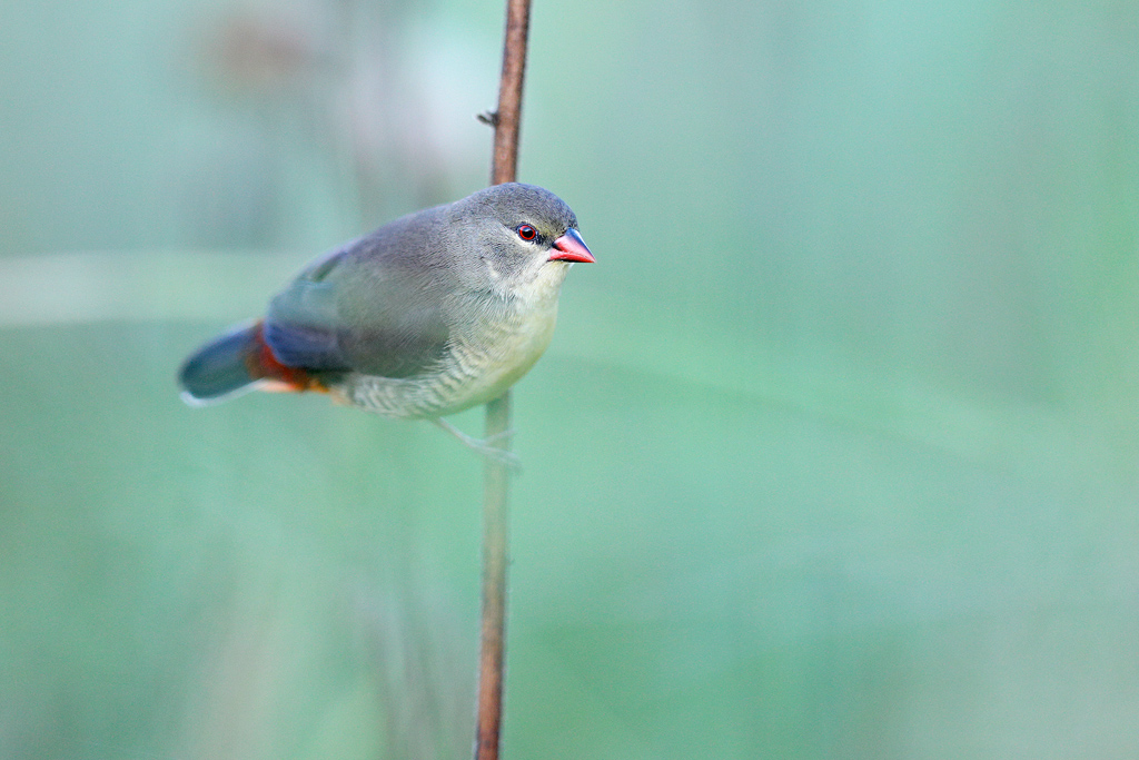 Orange-breasted Waxbill / Rietvlei Nature Reserve, Gauteng, South Africa / February 2019