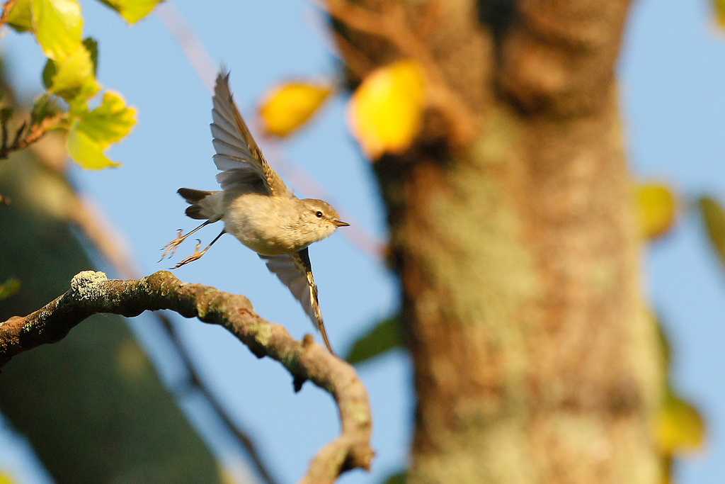 Willow Warbler / Rietvlei Nature Reserve, South Africa / 05 March 2016