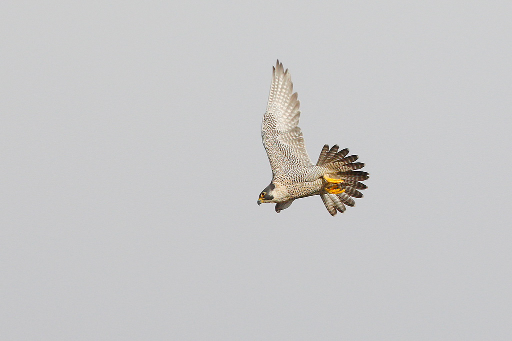 Peregrine Falcon / Rietvlei Nature Reserve, Gauteng, South Africa / April 2017