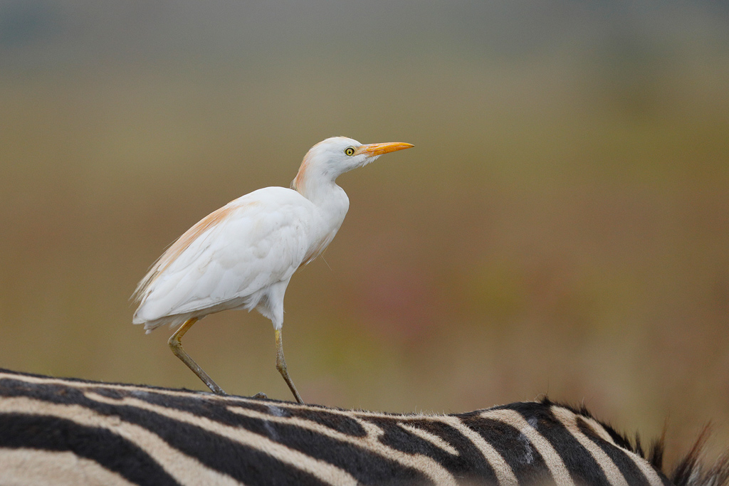Cattle Egret / Rietvlei Nature Reserve, Gauteng, South Africa / February 2018