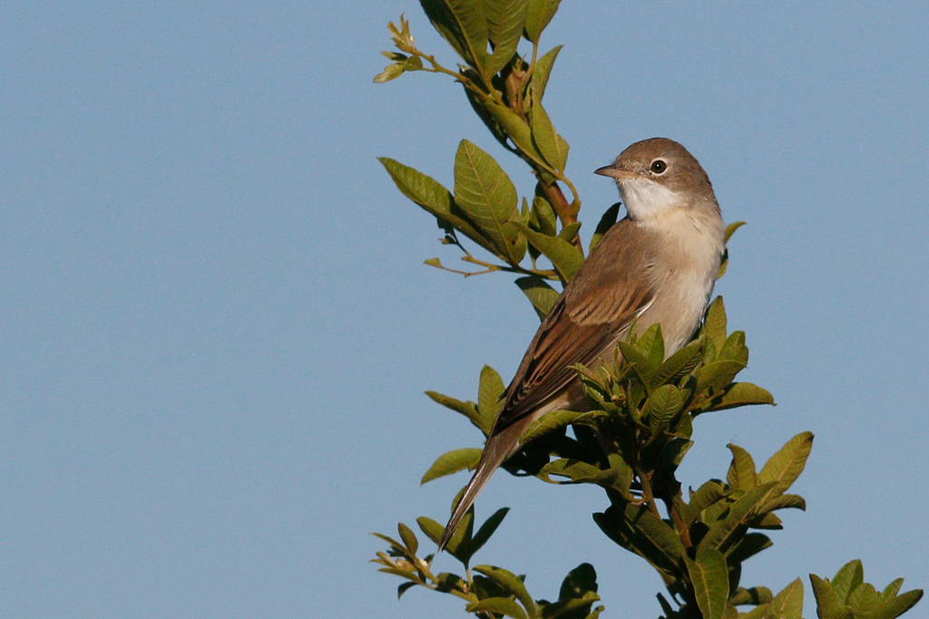 Common Whitethroat / Rietvlei Nature Reserve, South Africa / 05 March 2016