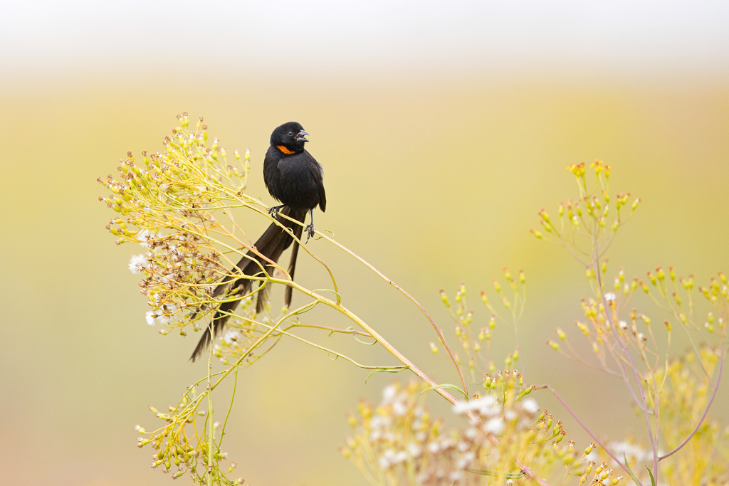 Red-collared Widowbird / Rietvlei Nature Reserve, Gauteng, South Africa / February 2018