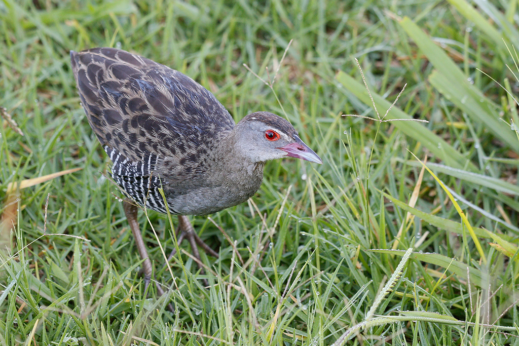 African Crake / Rietvlei Nature Reserve, South Africa / 05 March 2016
