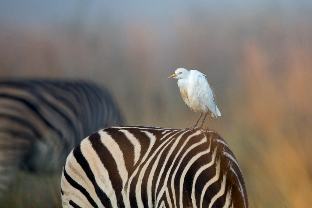 Cattle Egret / Rietvlei Nature Reserve, Gauteng, South Africa / April 2018
