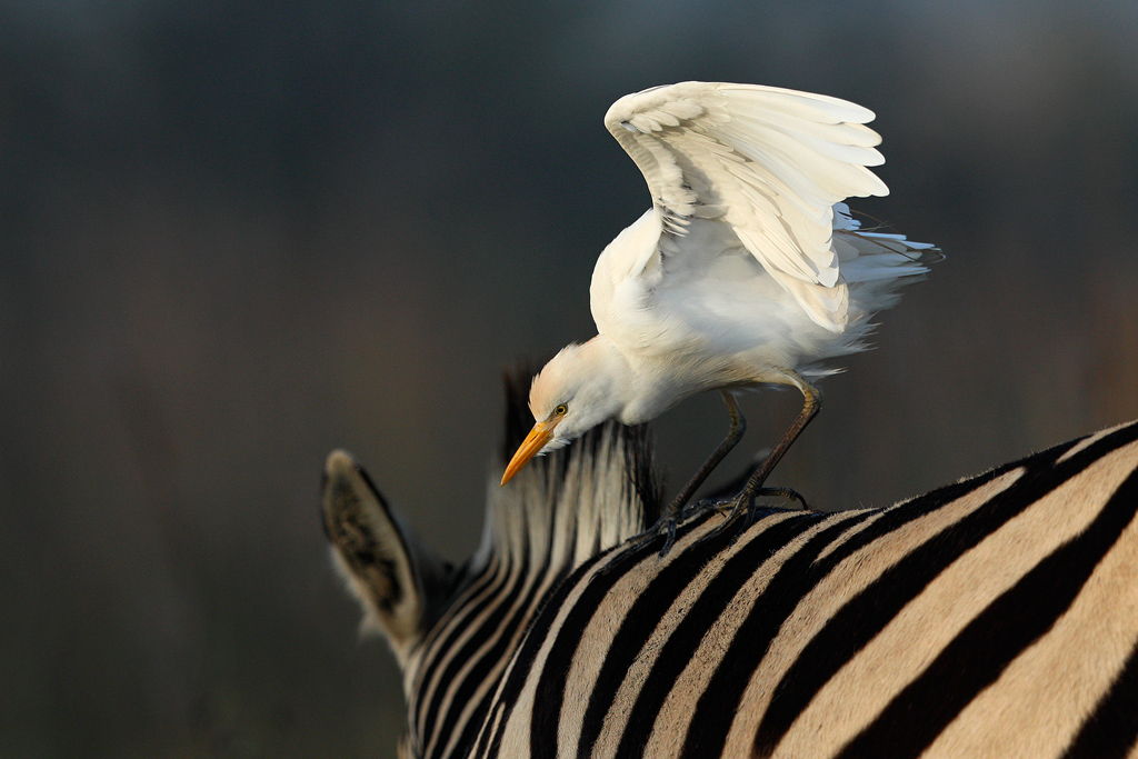 Cattle Egret / Rietvlei Nature Reserve, South Africa