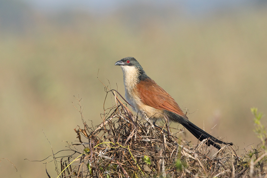 Burchell's Coucal / Rietvlei Nature Reserve, Gauteng, South Africa / April 2018