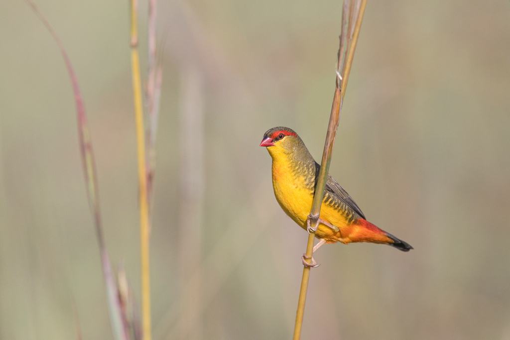 Orange-breasted Waxbill / Rietvlei Nature Reserve, Gauteng, South Africa / April 2018