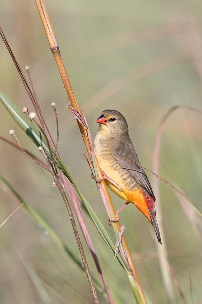 Orange-breasted Waxbill (female) / Rietvlei Nature Reserve, Gauteng, South Africa / April 2018