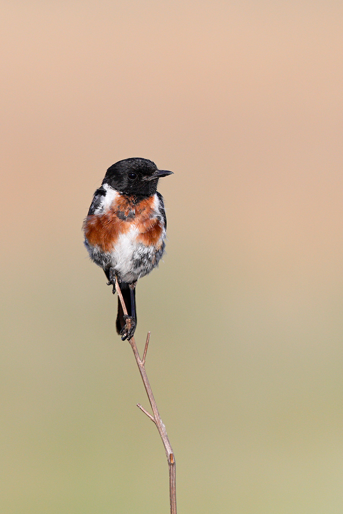 Common Stonechat (male) / Rietvlei Nature Reserve, Gauteng, South Africa / January 2019