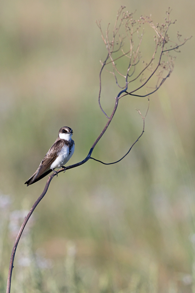 Banded Martin / Rietvlei Nature Reserve, South Africa