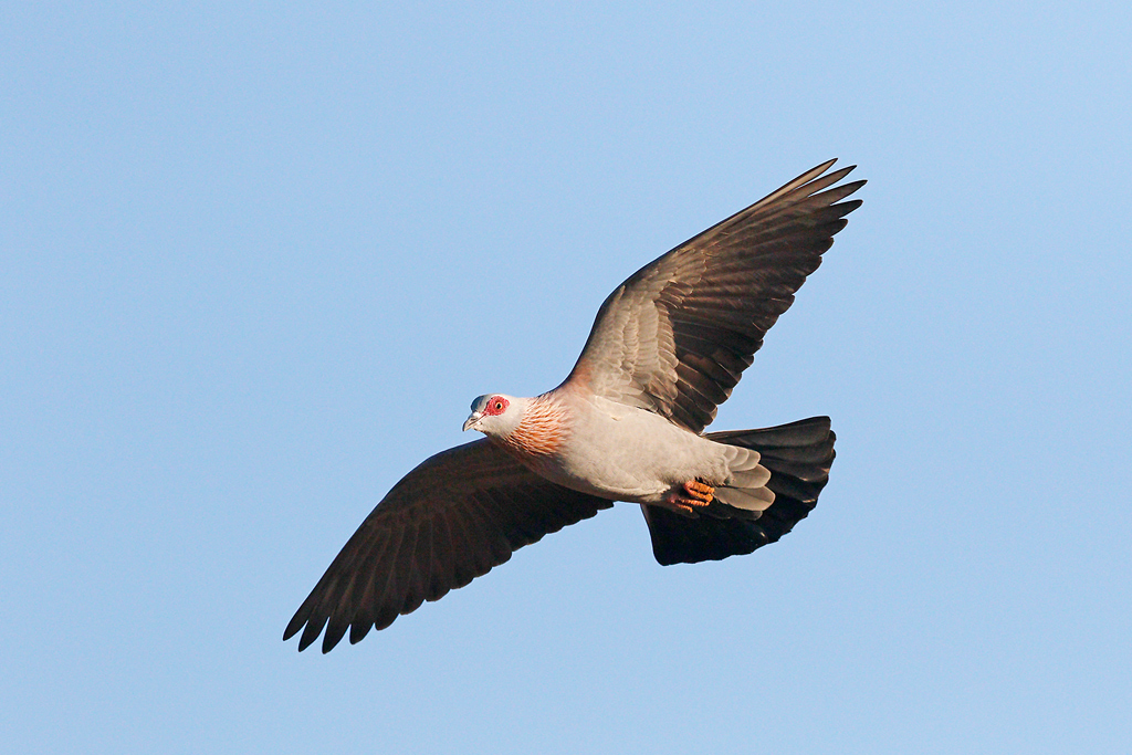 Rock-Dove—-Kgomo-Kgomo,-North-West-Province,-South-Africa—04-January-2014-5