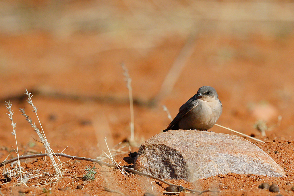 Rock Martin / Tswalu Kalahari Reserve, South Africa / 13 June 2015