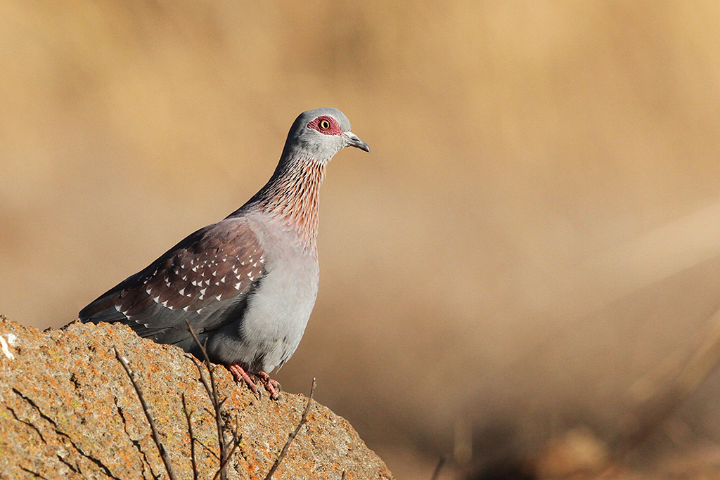 Rock or Speckled Pigeon / Elands Valley, Dullstroom, South Africa / 18 July 2014