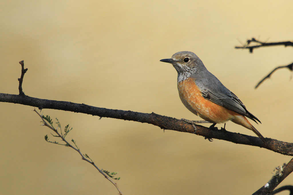 Short-toed Rock-thrush – female / Erongo Wilderness Camp, Central Namibia