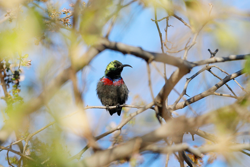 Marico Sunbird / Roodeplaat Dam Nature Reserve, South Africa / November 2018