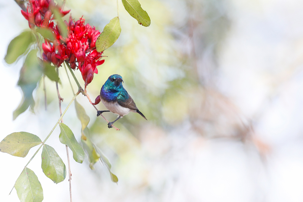 White-bellied Sunbird / Roodeplaat Dam Nature Reserve, South Africa / October 2018
