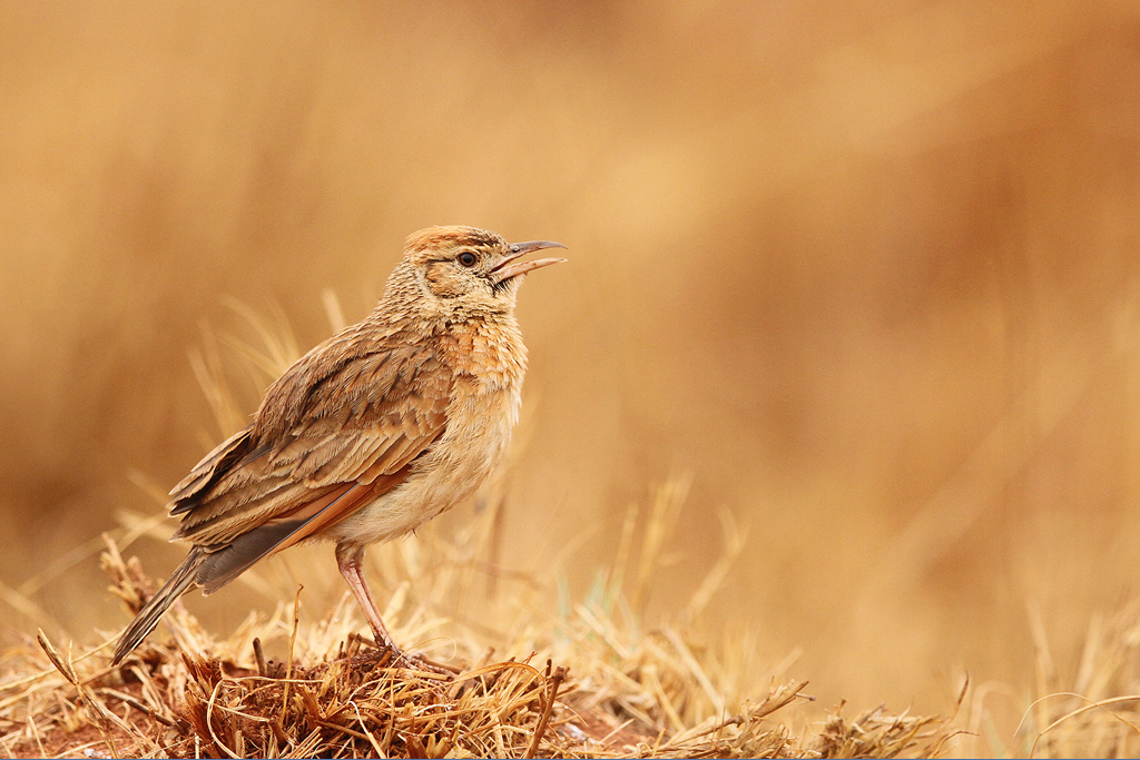 Rufousnaped-Lark—Rietvlei-Nature-Reserve,-South-Africa—12-October-2014