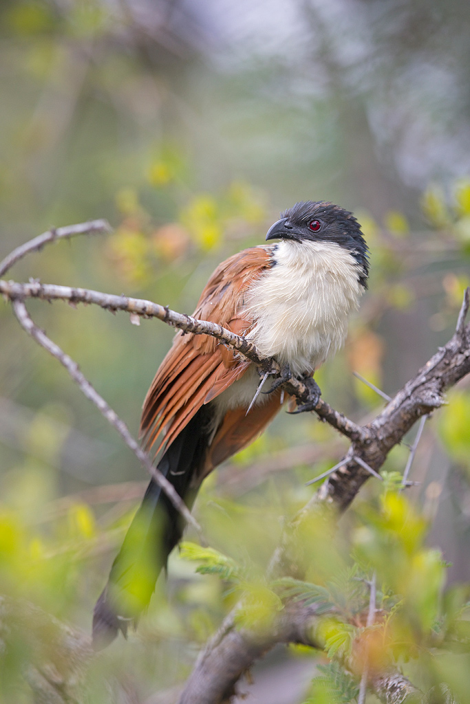 Burchell's Coucal / Dinokeng Game Reserve, Gauteng, South Africa / February 2018