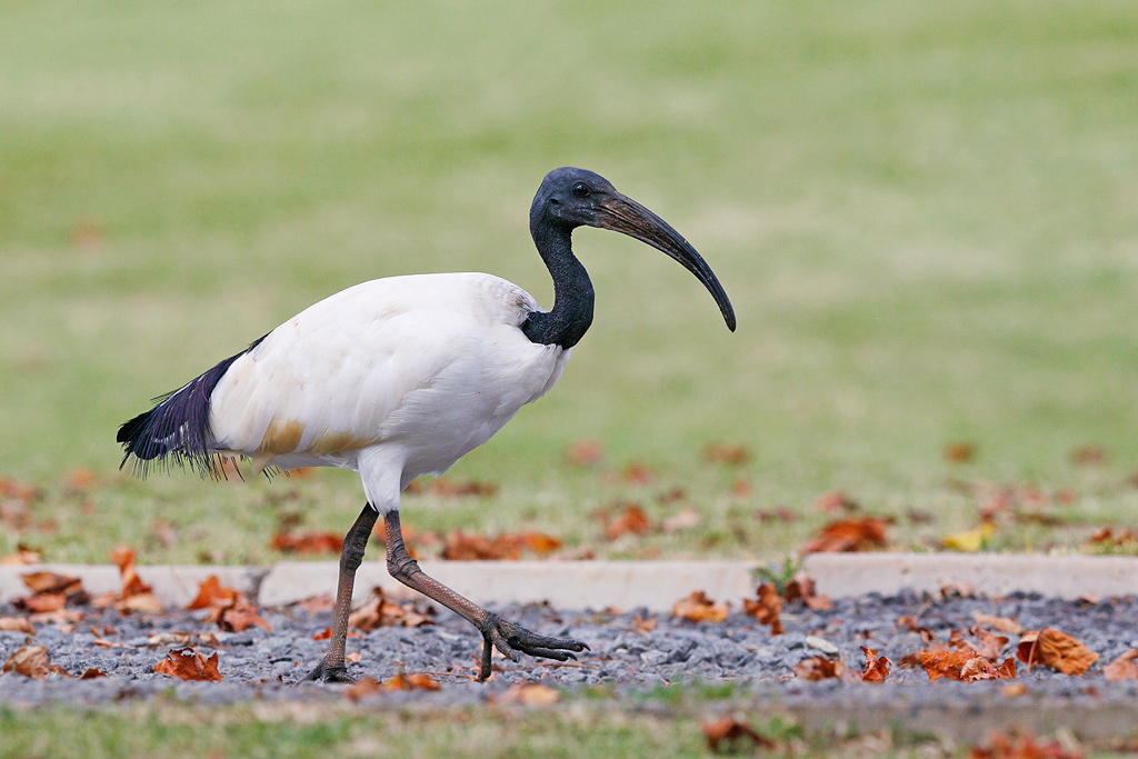 Sacred Ibis / Underberg,KwaZulu Natal, South Africa / 19 April 2015