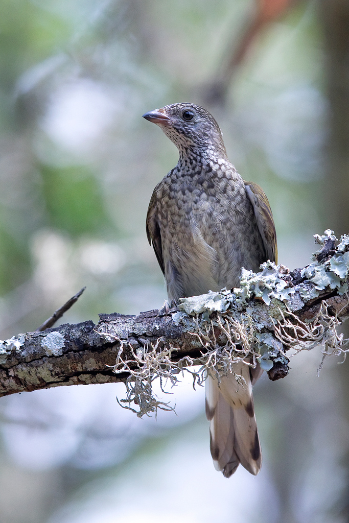 Scaly-throated Honeyguide / False Bay Nature Reserve, Hluhluwe, South Africa / January 2019
