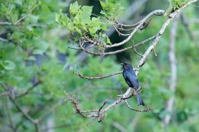 Square-tailed Drongo / Sand Forest Lodge, Hluhluwe, KwaZulu Natal, South Africa / January 2019