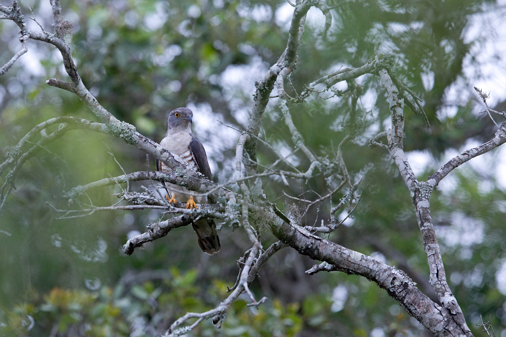 African Cuckoo Hawk / Mkhuze Game Reserve, KwaZulu Natal, South Afrcia / January 2018