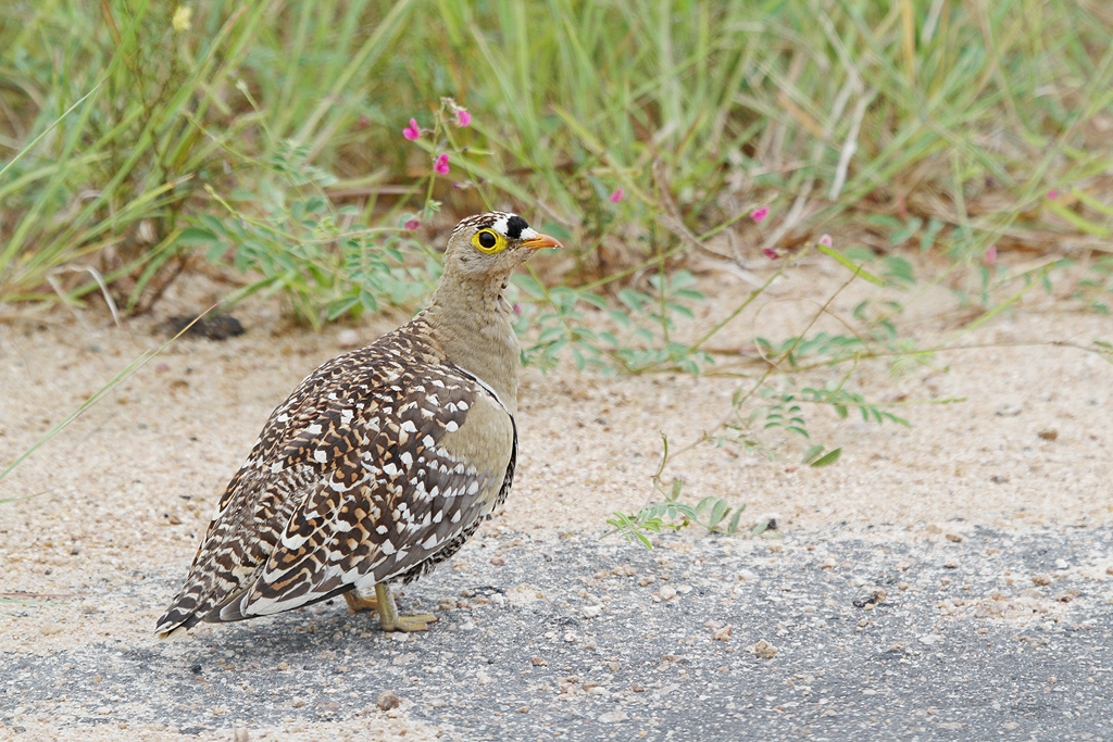 Sandgrouse,-Doublebanded-(Southern-Kruger-National-Park)-(Male)