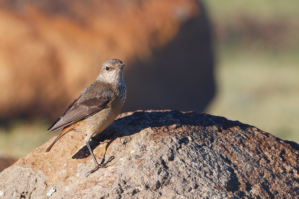 Sentinel Rock Thrush (female) / Sani Pass, South Africa / December 2015