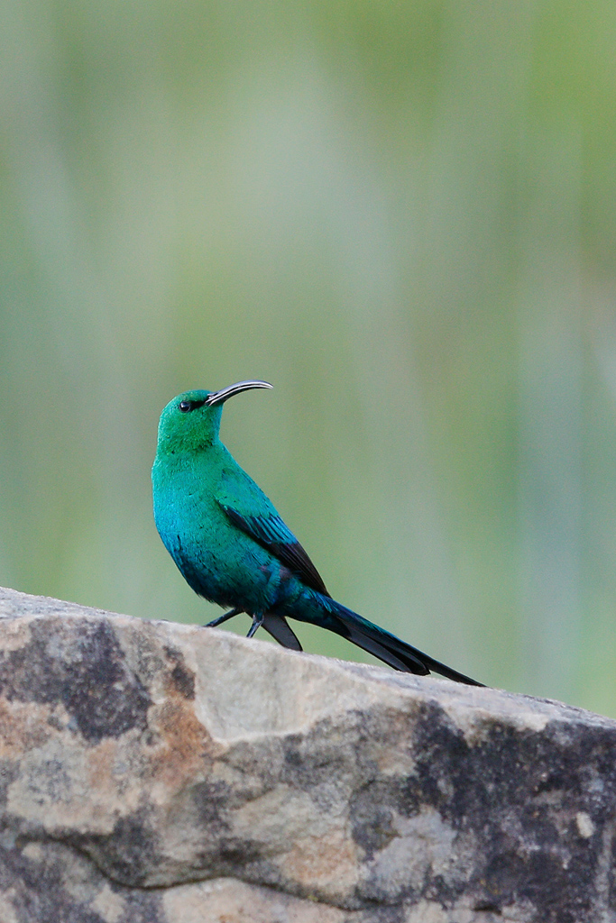 Malachite Sunbird / Sani Pass, South Africa / 24 December 2015