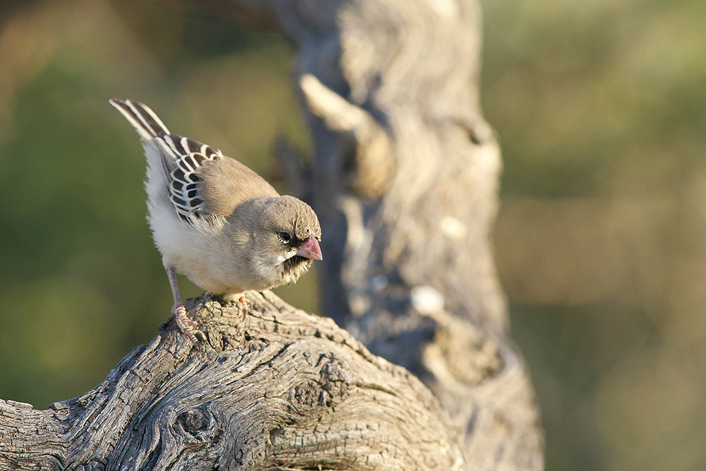 Scaly-feathered Finch / Kgalagadi Transfrontier Park, South Africa / 12 June 2014