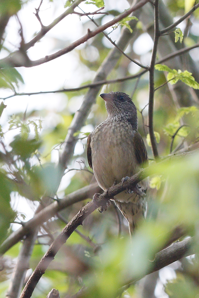 Scaly-throated Honeyguide / Gwahumbe Game Reserve, Mid Illovo, Kwazulu Natal, South Africa / 28 August 2015