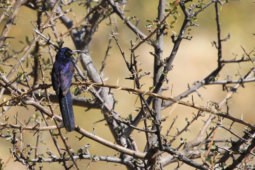 Common Scimitarbill / Erongo Wilderness Camp, Central Namibia