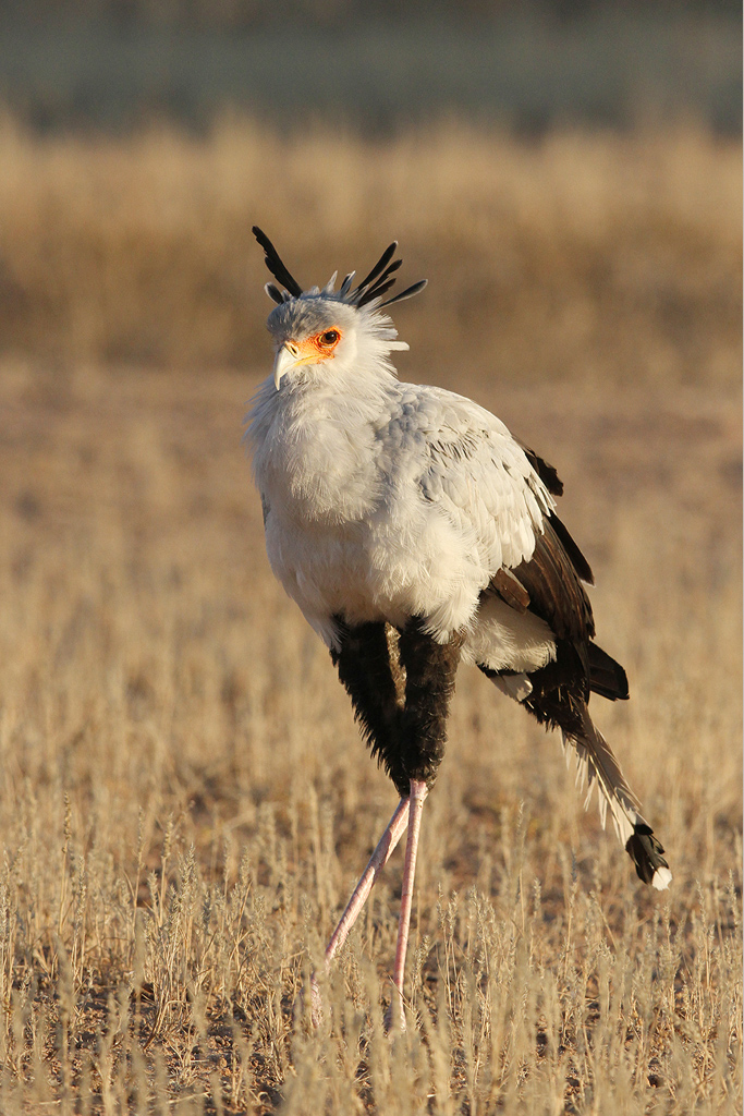 Secretarybird / Kgalagadi Transfrontier Park, South Africa / 14 June 2014