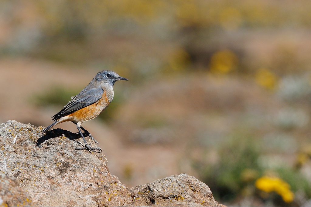 Sentinel Rock-thrush (male) / Sani-Pass, South-Africa / 15 April 2015
