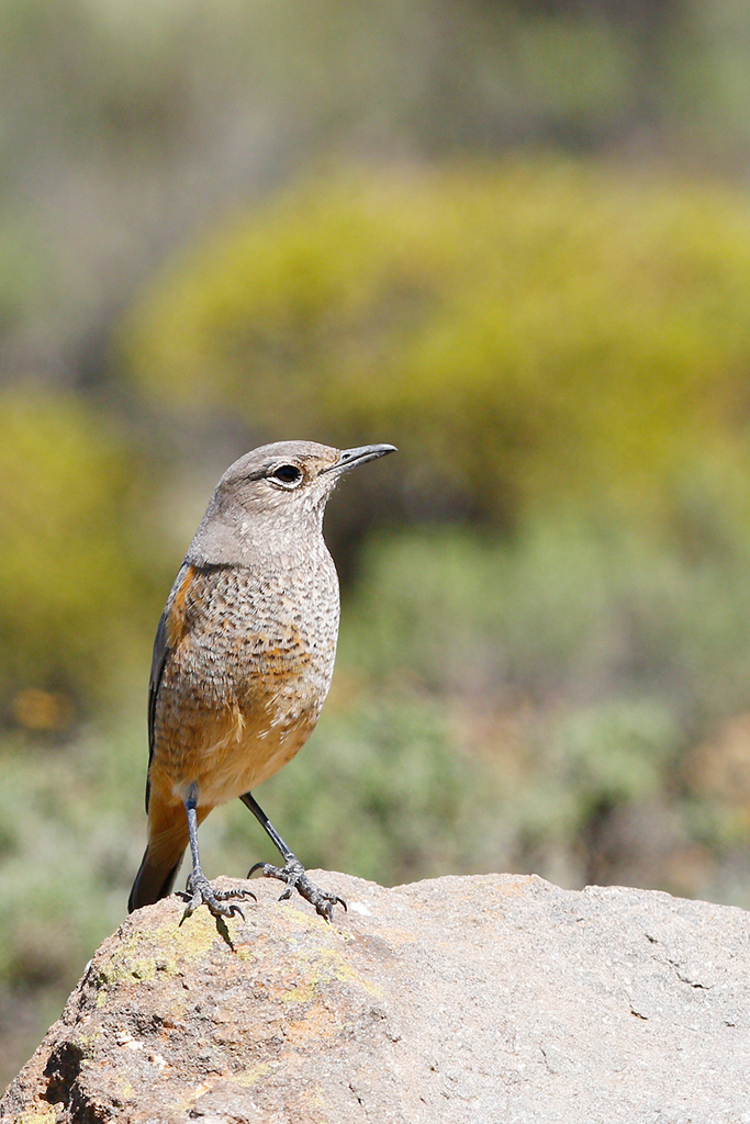 Sentinel Rock-thrush (female) / Sani-Pass, South-Africa / 15 April 2015