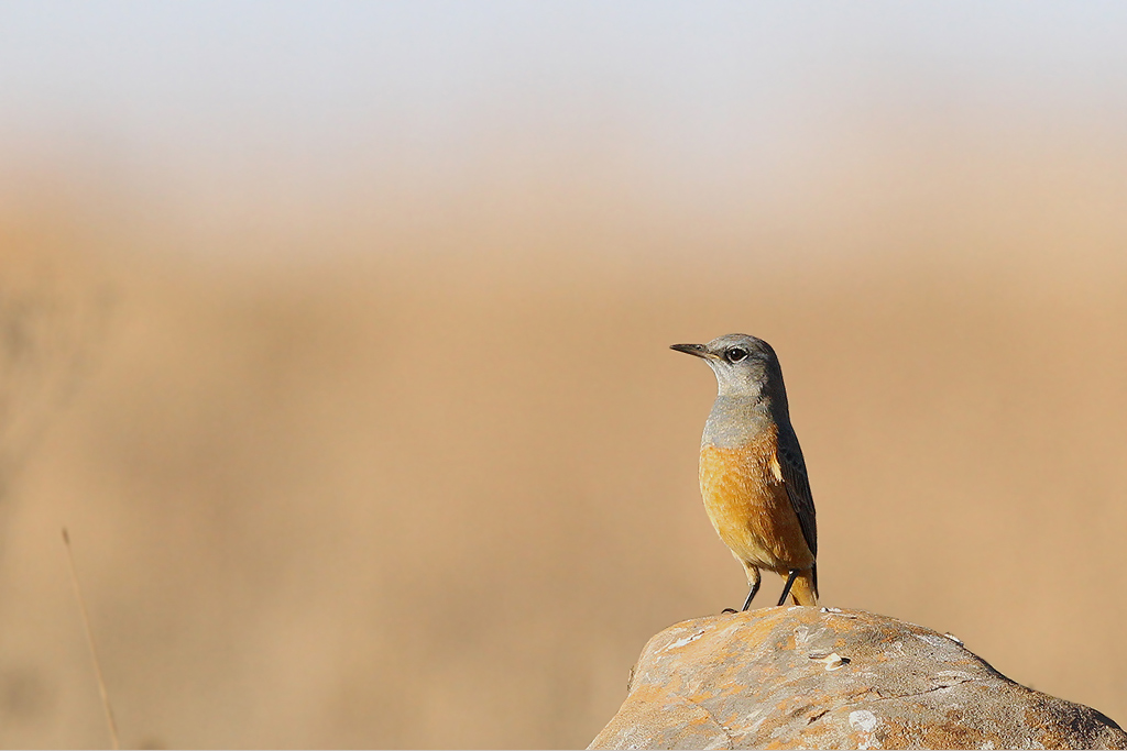 Sentinel Rock Thrush (male) / Suikerbosrand Nature Reserve, South East Gauteng, South Africa / 24 May 2014