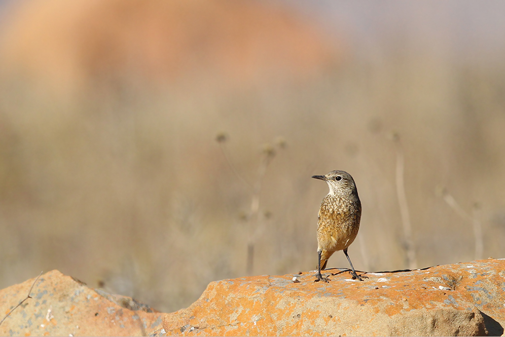 Sentinel Rock Thrush (female) / Suikerbosrand Nature Reserve, South East Gauteng, South Africa / 24 May 2014