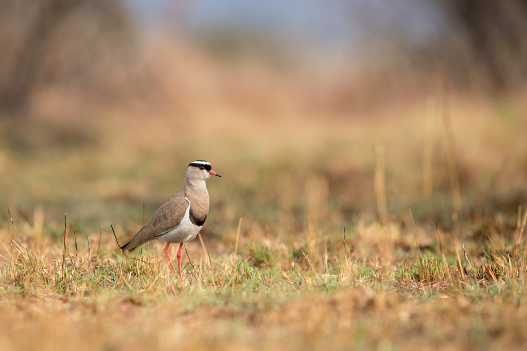 Crowned Lapwing / Roodeplaat Dam Nature Reserve, South Africa