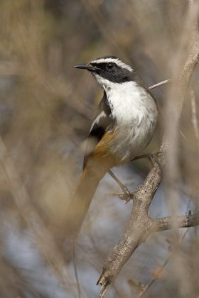 White-throated Robin Chat / Roodeplaat Dam Nature Reserve, South Africa
