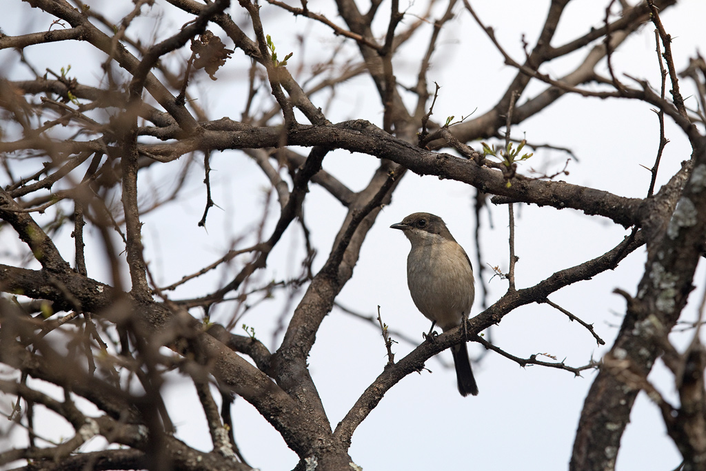 Fiscal Flycatcher / Roodeplaat Dam nature Reserve, South Africa