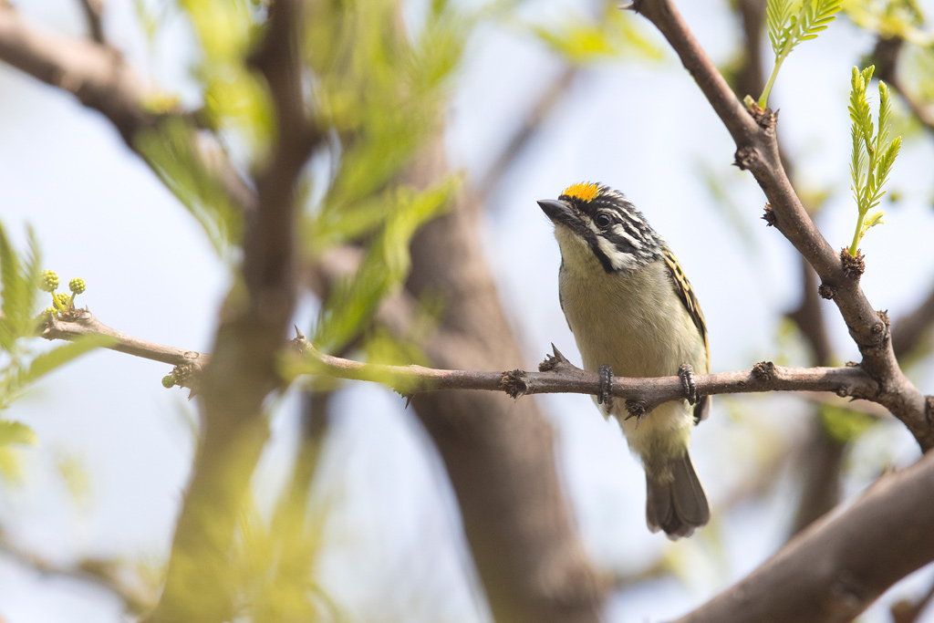 Yellow-fronted Tinkerbird / Roodeplaat Nature Reserve, Gauteng, South Africa / August 2018
