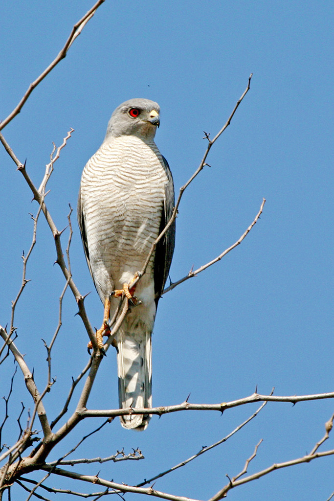 Shikra-or-Little-Banded-Goshawk-(Rust-de-Winter)