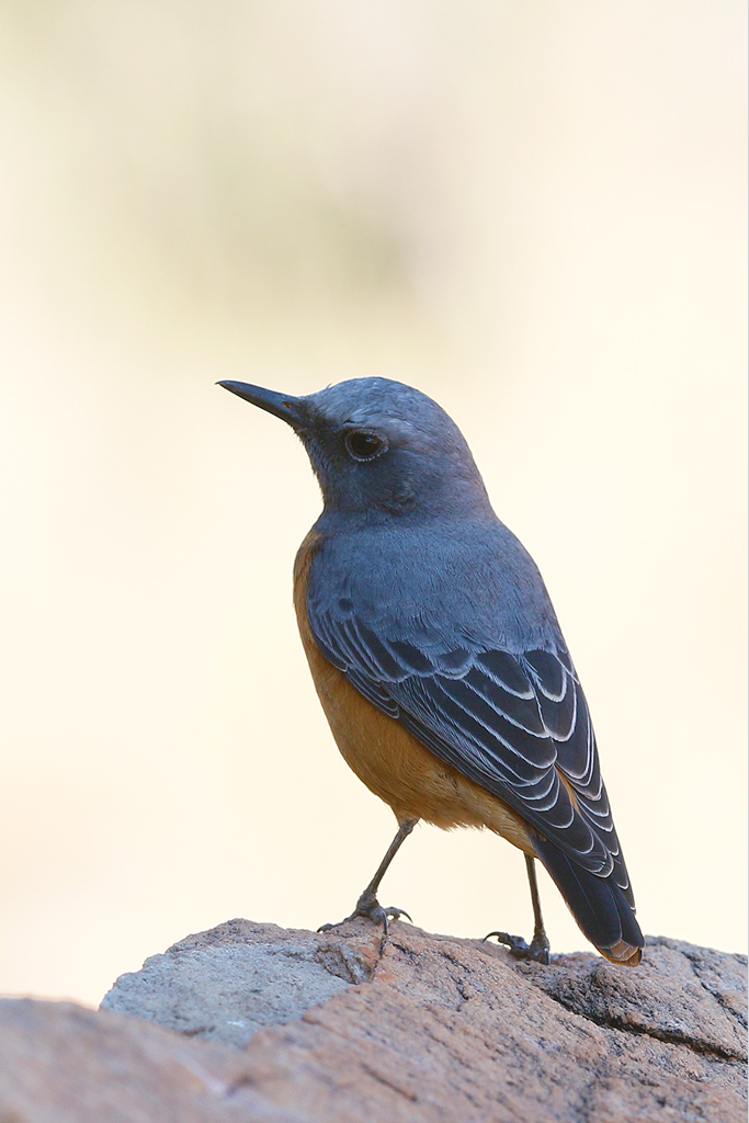 Short-toed Rock Thrush (male) / Tswalu Kalahari Reserve, South-Africa / 14 June 2015