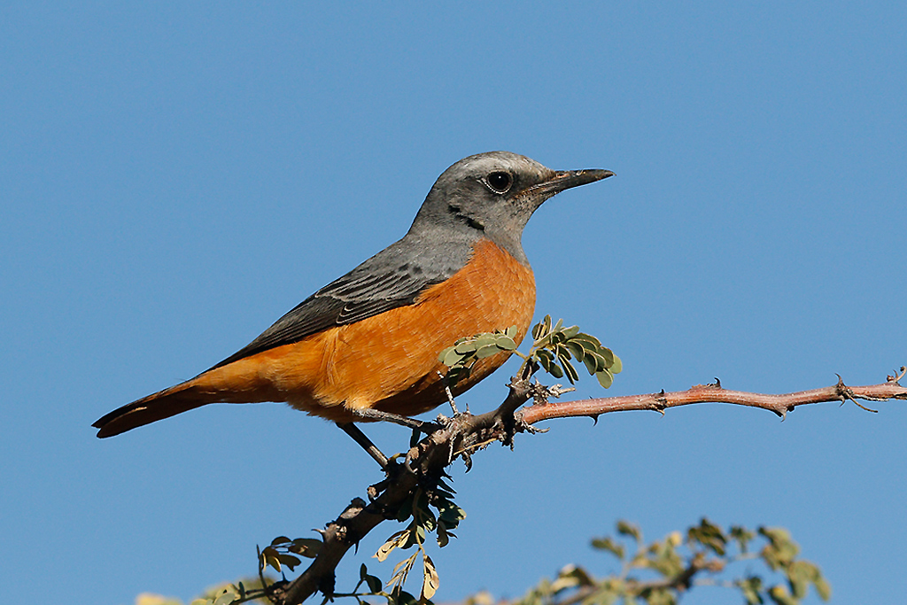 Short-toed Rock Thrush (male) / Tswalu Kalahari Reserve, South-Africa / 16 June 2015